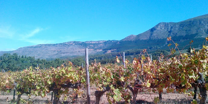 South Africa's Old Vines - Revolutionising An Industry